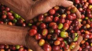 chandra-ekajaya-bina-petani-kopi