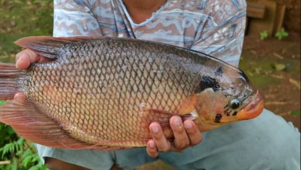 Bisnis Ikan Gurameh, Chandra Ekajaya Untung Berlipat